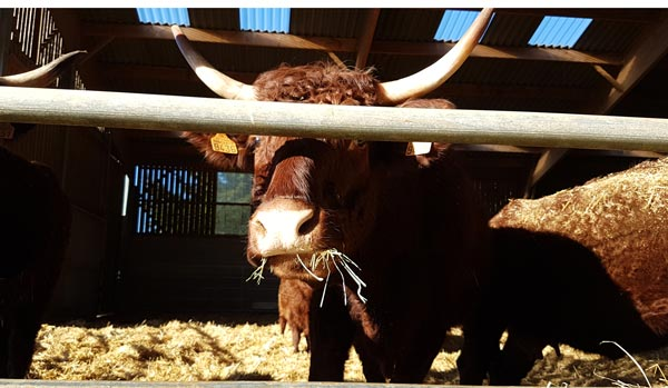 Highland cattle, Salers, Aubrac